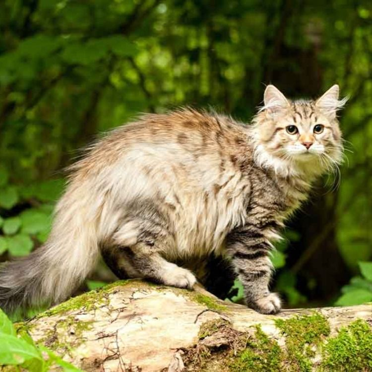 Siberian Cat Information Cat Breed Facts In 2020 Cat Breeds Siberian Cat Cats
