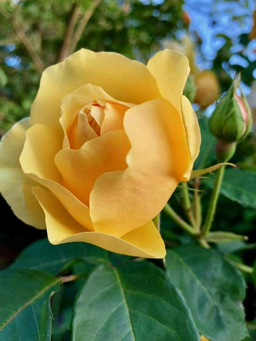 Yellow rose flowersplants pinterest yellow roses flowers and yellow rose rose reference yellow roses pink roses lavender roses flower photos mightylinksfo