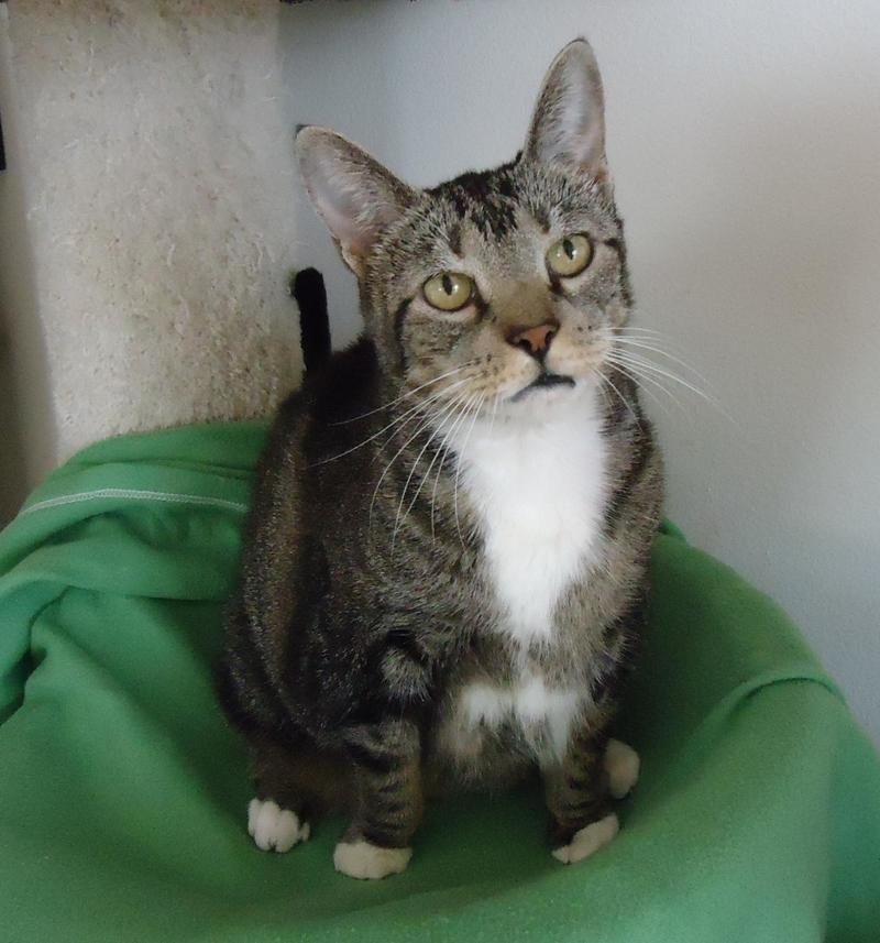 Adopt Princess Declawed On Cat Adoption Cats Adoption