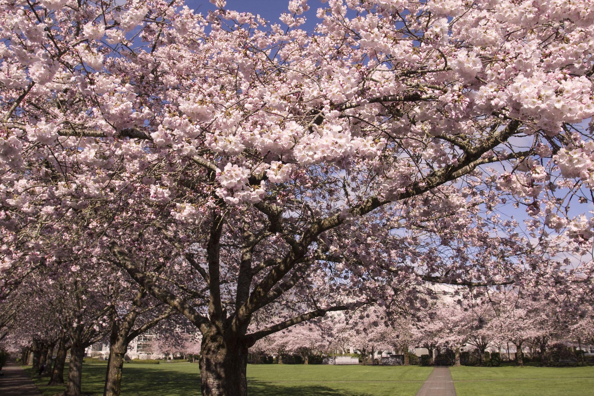 Cherry Blossoms Salem Oregon Oregon Flower Salem Oregon