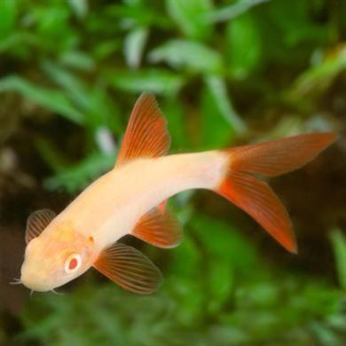 Albino Rainbow Shark Peces De Agua Dulce Peces Tropicales Agua Dulce