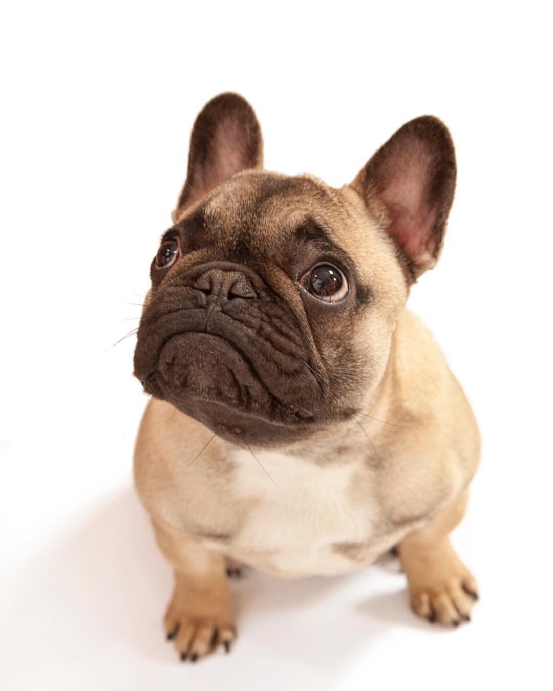 chunki | french bulldogs.. | cute french bulldog, french bulldog mix