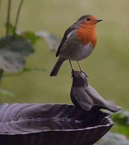 Rotkehlchen Ausgestopftes Tier Hubsche Vogel Wildvogel