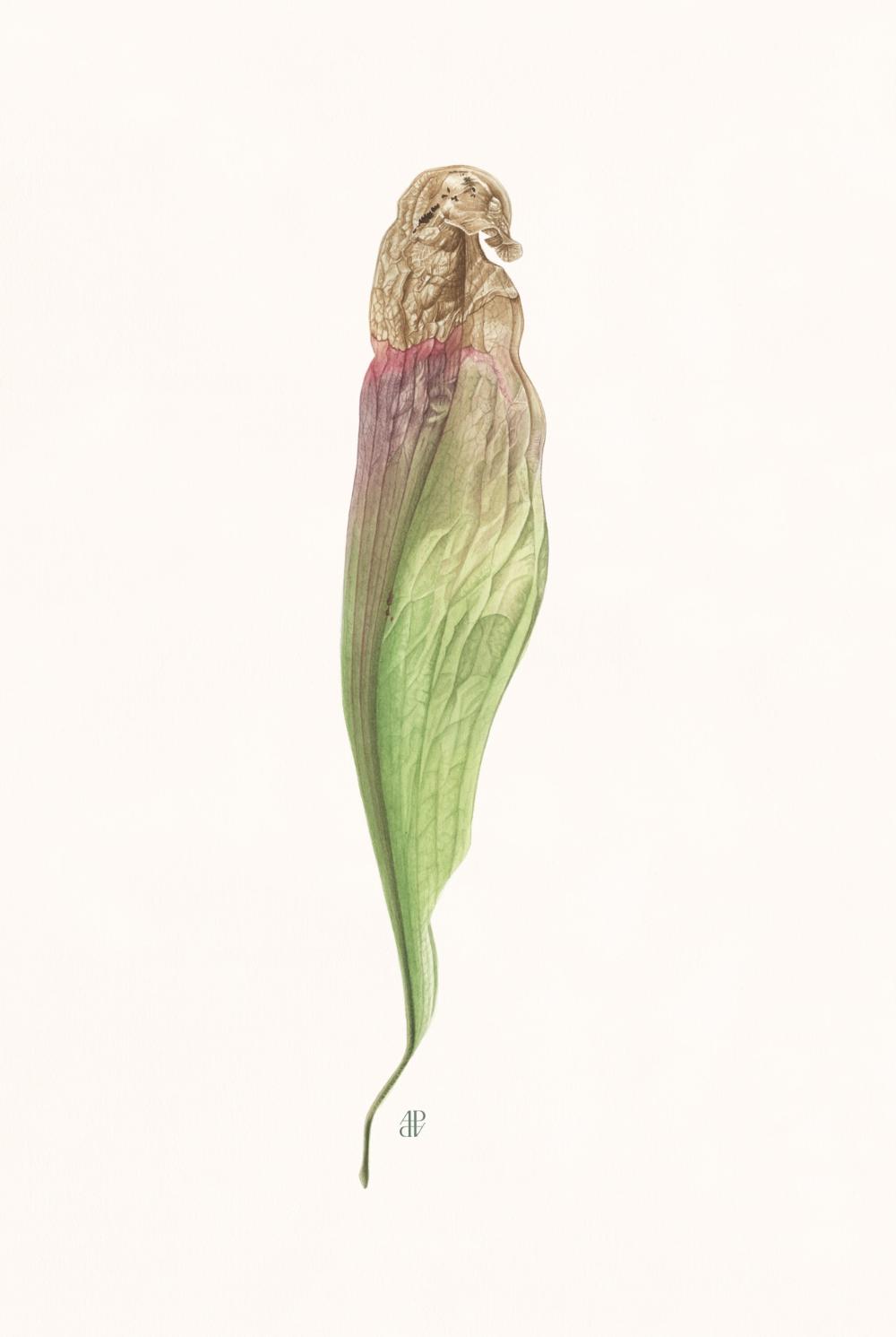 Botanique Anne Pieussergues Dherbicourt Com Illustration Botanique Botanique Illustration