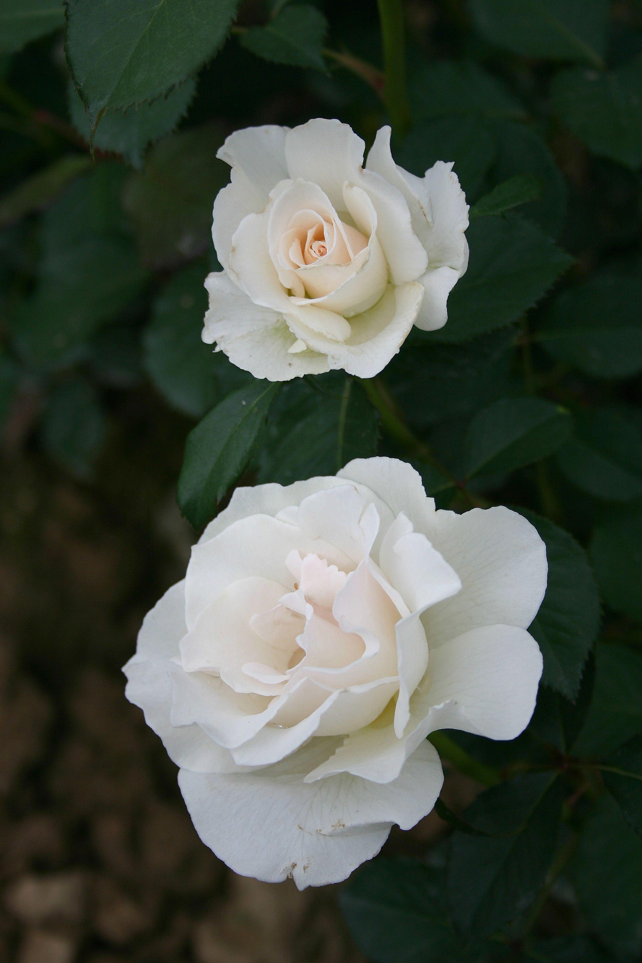Rosa floribunda 'Margaret Merril' (Harkness, 1977)