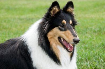 Bandit Rough Collie Collie Puppies Collie Dog