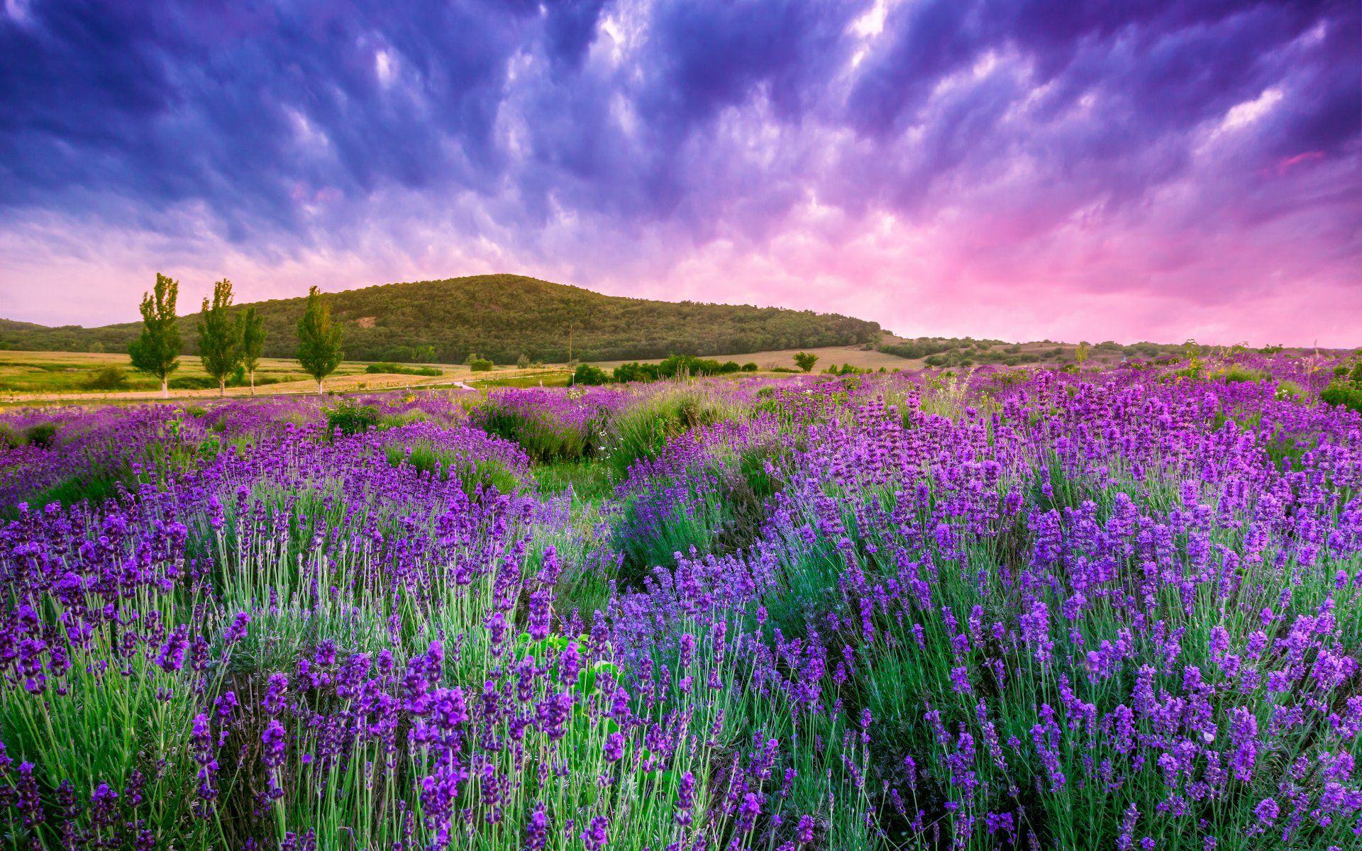 Landscape Flowers Lavender