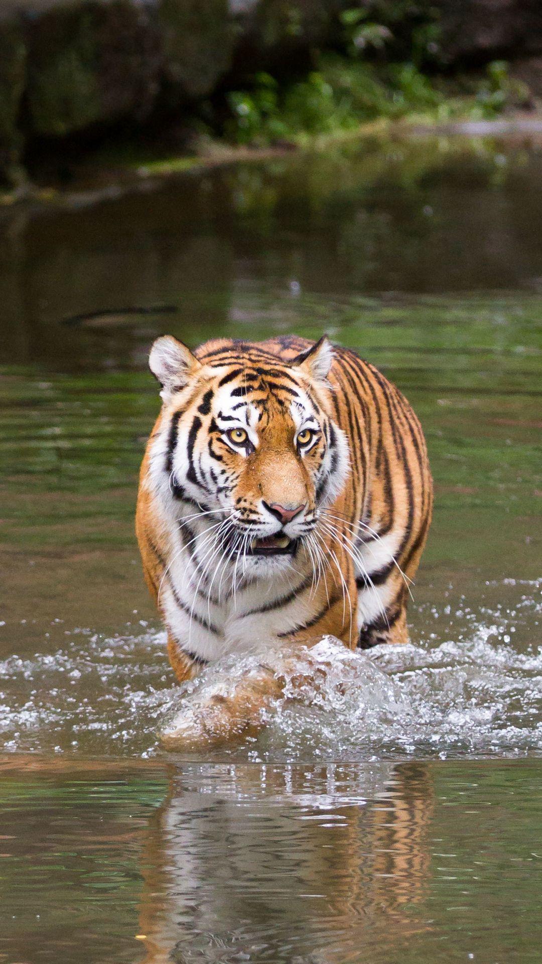 Tiger Wallpaper Ios Animals Wallpapers Ideas In 2020 Animals Wild Animals Beautiful Beautiful Cats