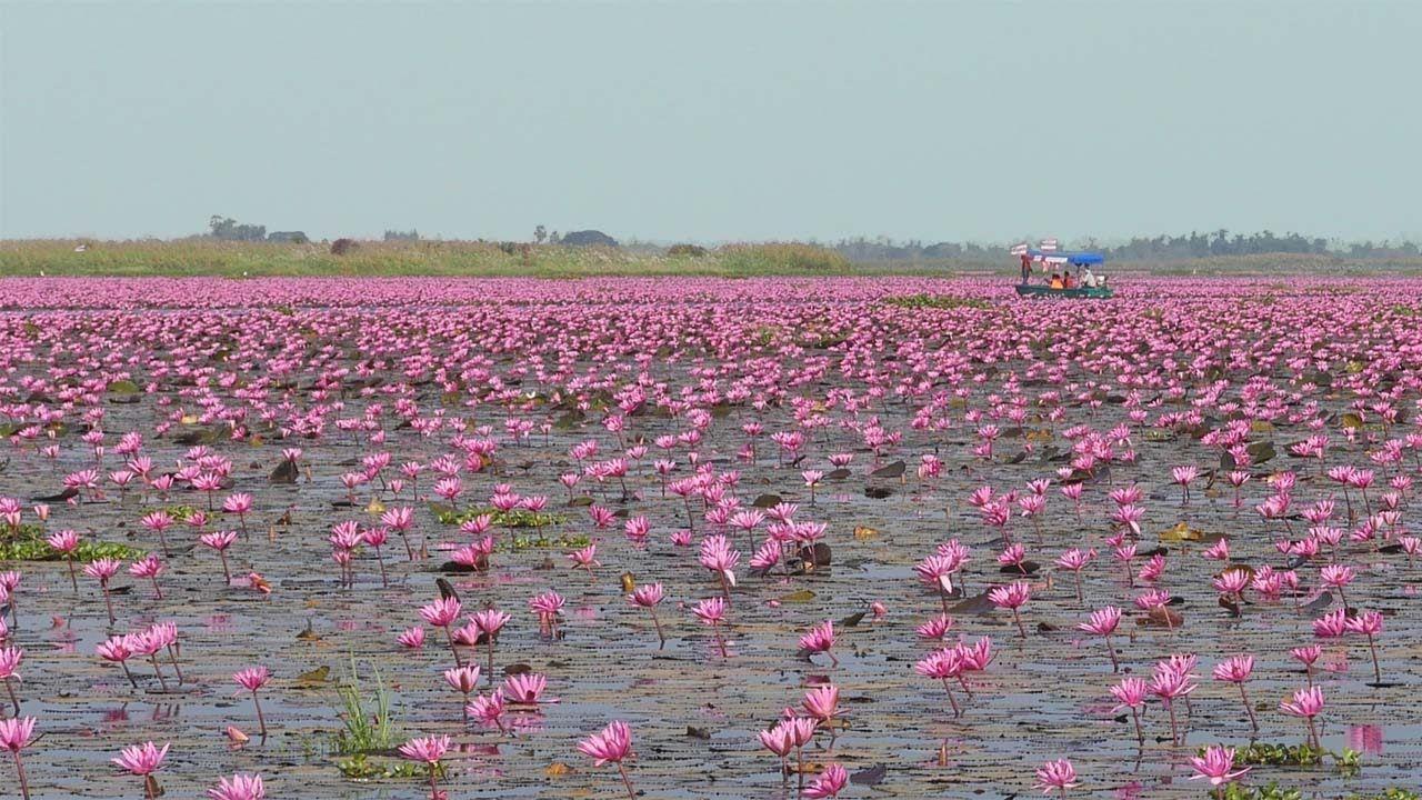 Amazing Lake Full Of Red Lotus Flowers In Thailand Gardening