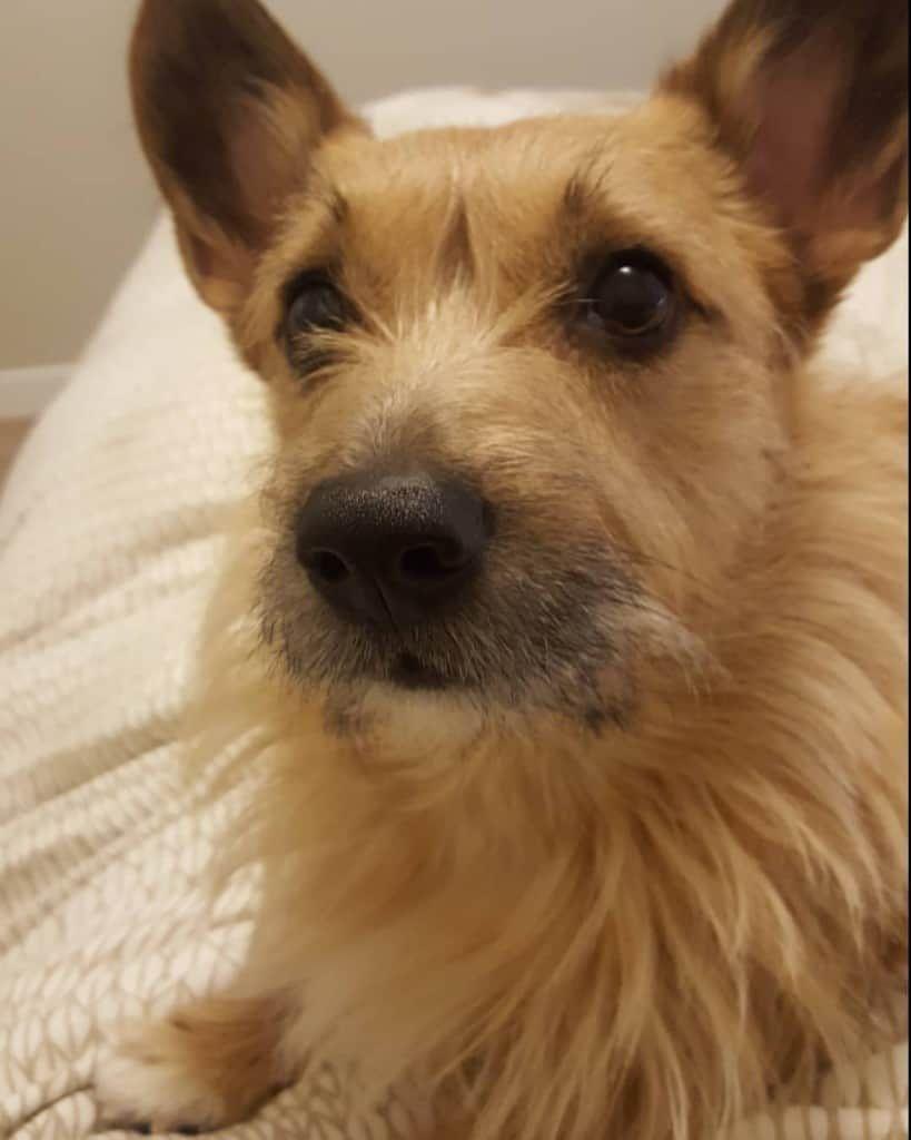 77 Boston Terrier Rat Terrier Mix Puppies For Sale In 2020