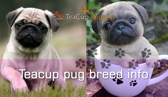 The History Of Teacup Puppies Teacup Pug Teacup Puppies Pug Breed