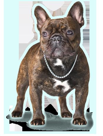 About Us Franzosische Bulldogge Bulldogge Und Hunde