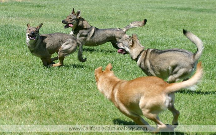 Http Www Californiacarolinadogs Com Carolina Dog Dogs Dog Photos