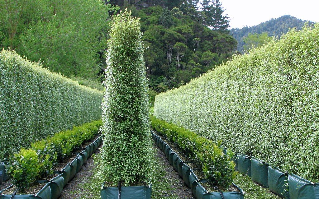Pittosporum Tenuifolium Silver Sheen Hedge