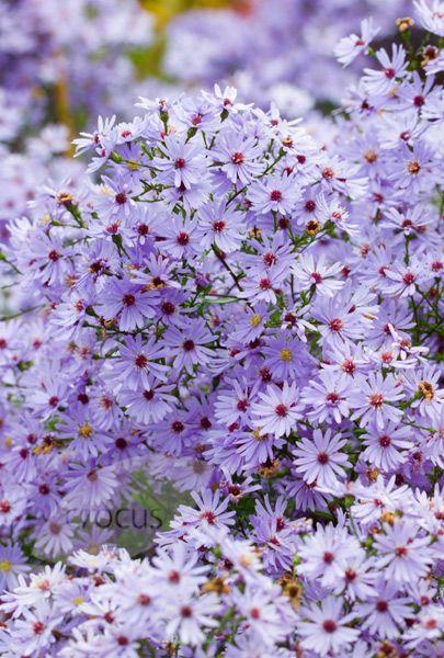 Symphyotrichum Little Carlow Cordifolius Hybrid Aster Autumn Garden Flower Garden Summer Flowers