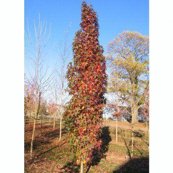 Liquidambar Styraciflua Slender Silhouette Tree 640 x 480
