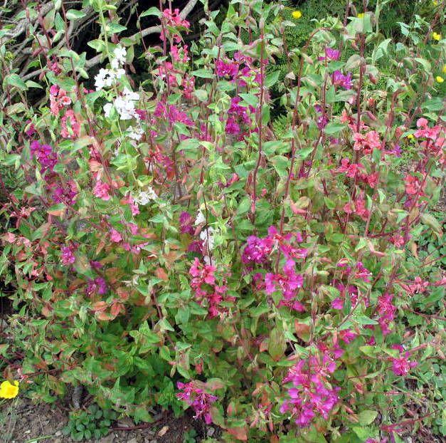 Mountain Garland Clarkia California Native Plants Native Plants Wild Hearts