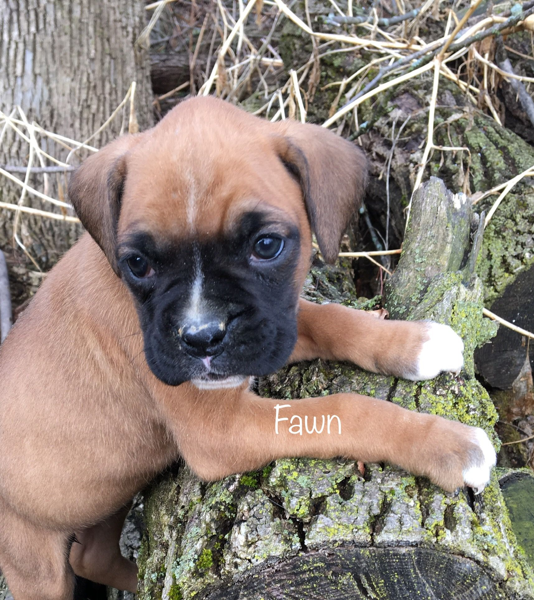 Puppies For Sale Boxer Puppies Lancaster Puppies Puppies