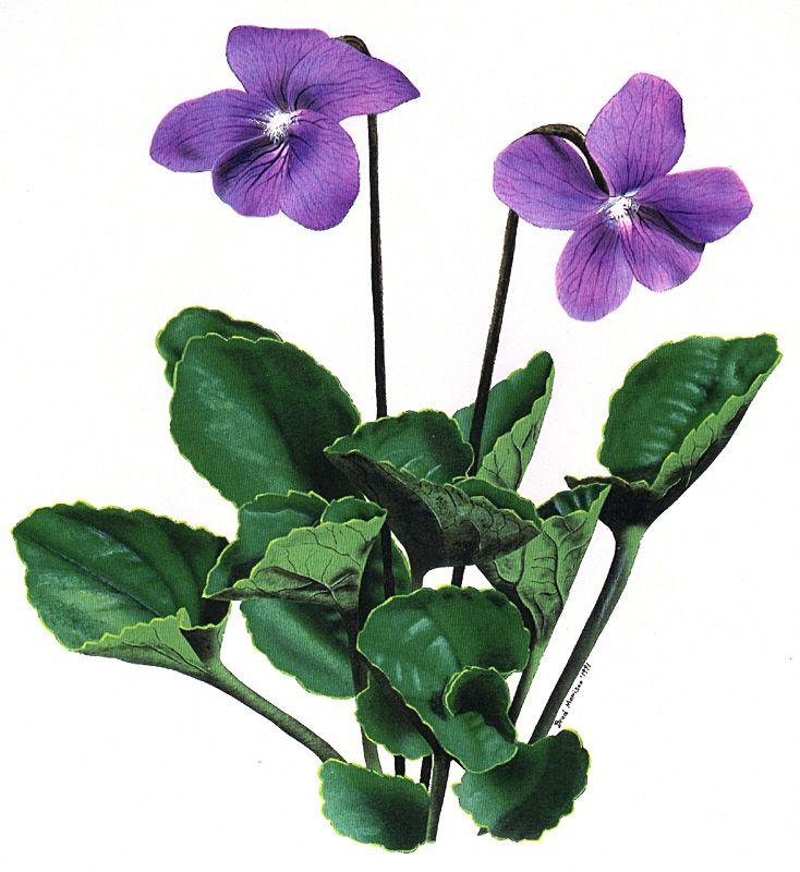 Provincial Flower Of New Brunswick Purple Violet Violets