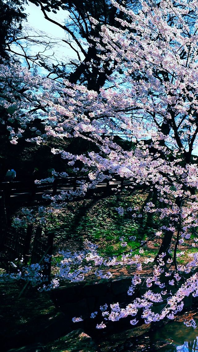 Cherry Blossom Trees Iphone Wallpaper Cherry Blossom Tree Blossom Trees Tree Iphone