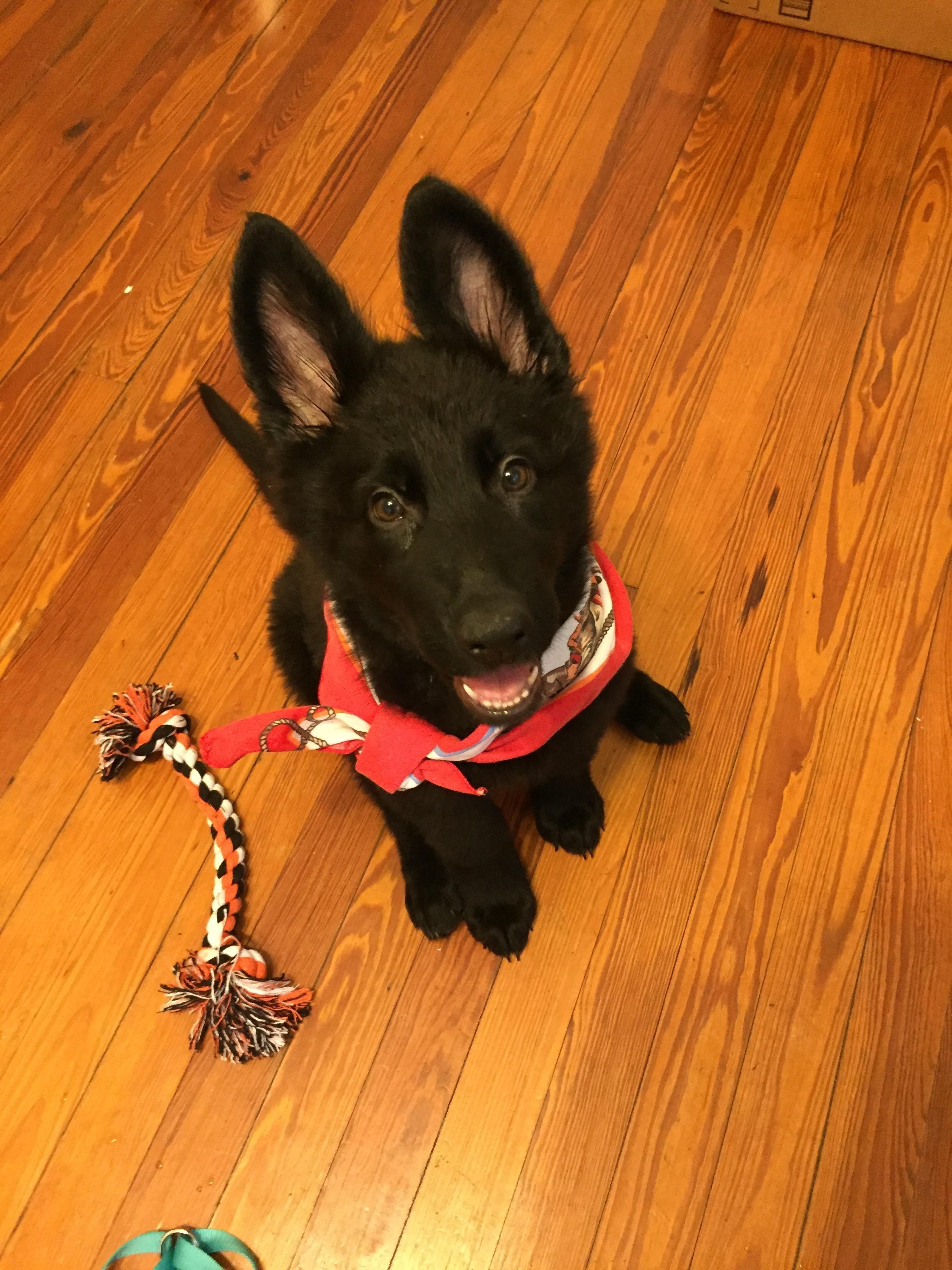 Cute good girl. http//ift.tt/2eK5a2t Gsd puppies