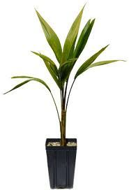 This baby tree will, in the future, give hope to thousands of people who have struggled with weight control problems. This little sapling, is an Acai Palm Sapling which will produce thousands if not millions of Acai Berries in its lifetime. All hail the Acai Palm for its awesome diet and health promoting properties.... we love you ! check it out at http://acaiberry-diet.co.uk/