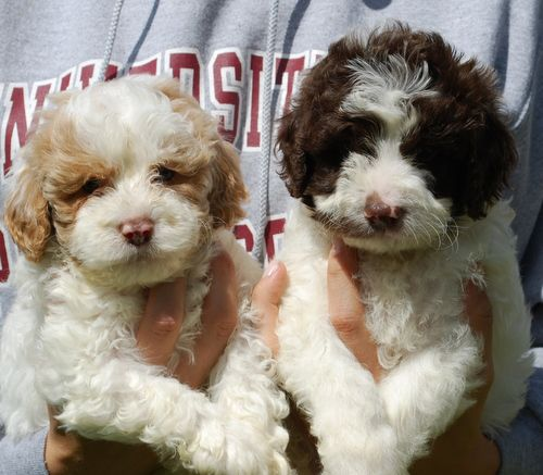 Chocolate And White Parti Puppies At Manor Lake Labradoodle Dogs Teddy Bear Dog Chocolate Labradoodle