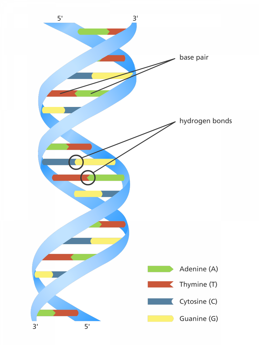 our favourite illustration to explain the structure of the dna double helix the four bases adenine cytosine guanine and thymine are all colour coded in  [ 900 x 1200 Pixel ]