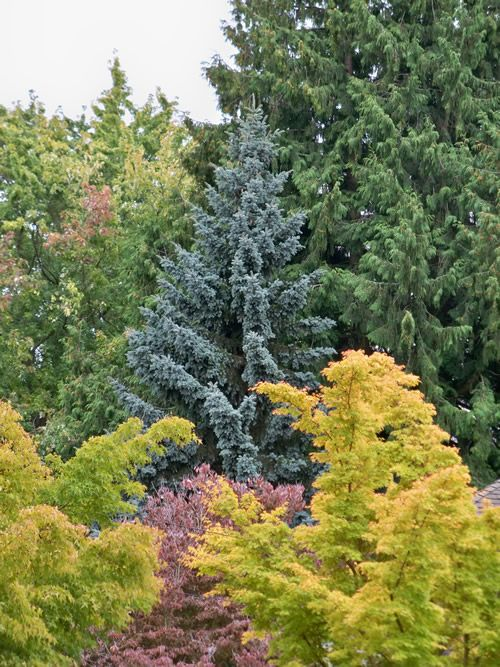 Fall Colors Colorado Blue Spruce Picea Pungens With Western Red Cedar Thuja Plicata Behind C Bark Maples Acer Palmatum Sango Kaku Dogwood