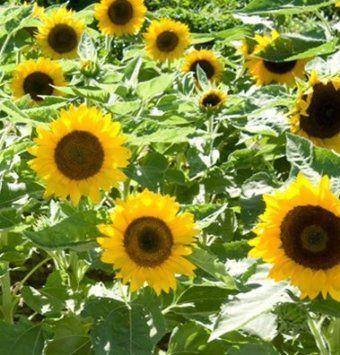 Buy Sunflower Flower Seeds Planting Sunflowers Dwarf Sunflowers Sunflower Flower