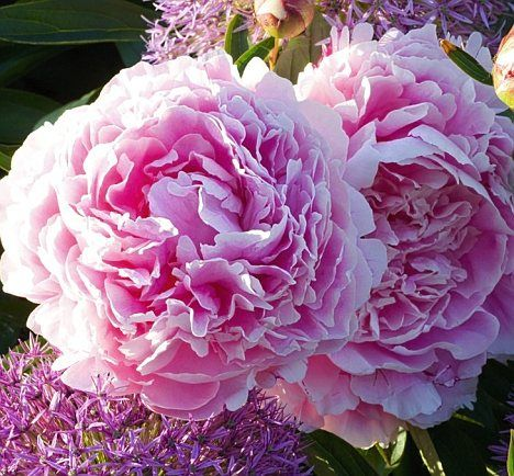 Peonies from heaven plant peonies now and theyll light up your reliable sarah bernhardt has large double flowers in a soft pink and looks mightylinksfo