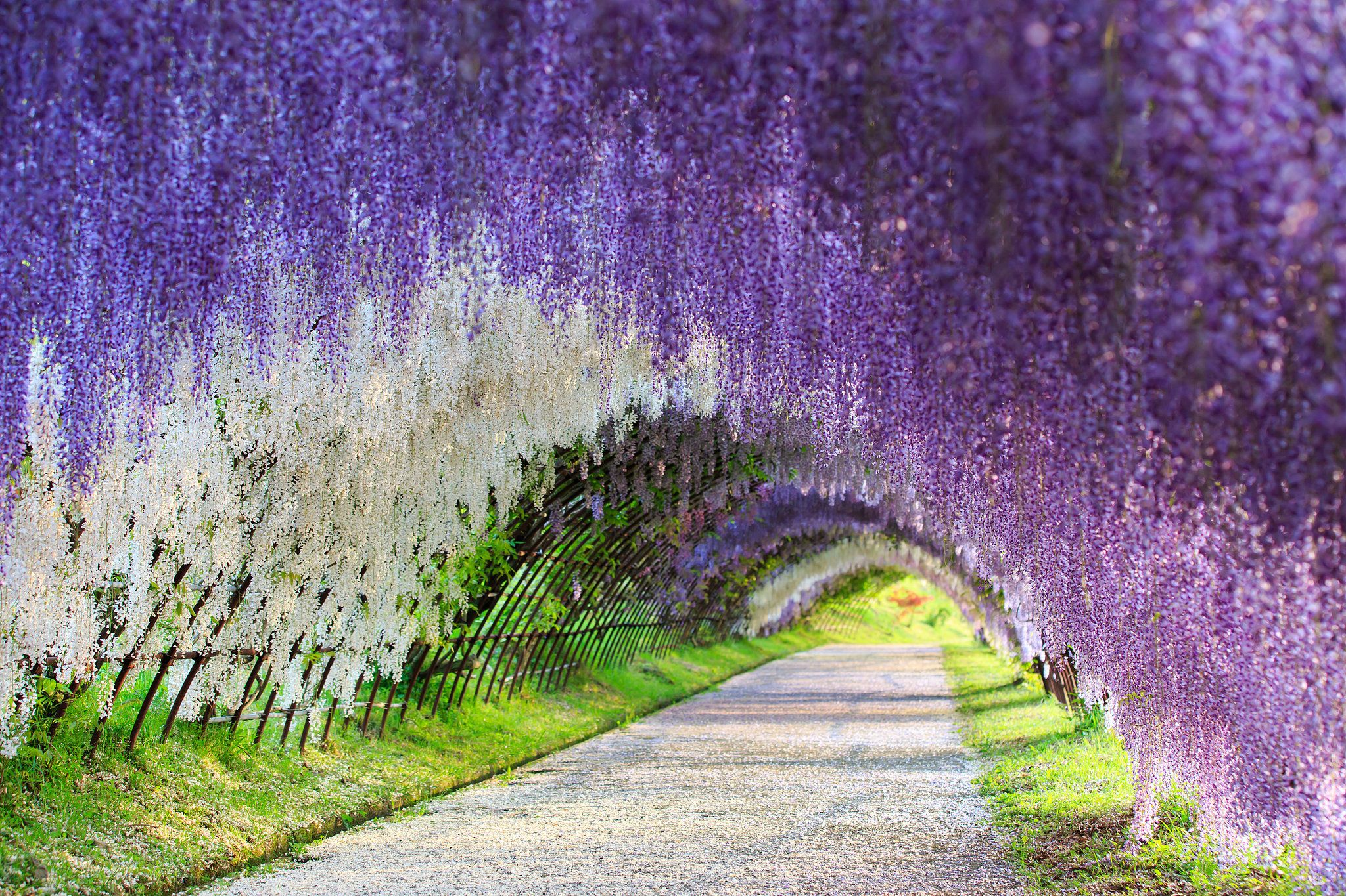 Wisteria Flower Tunnel Japan Colorful Places Kitakyushu Wisteria
