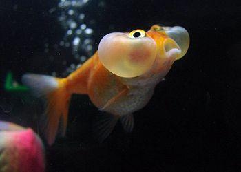Is My Goldfish Pregnant Puregoldfish Com Goldfish Fish Bubble Eye Goldfish