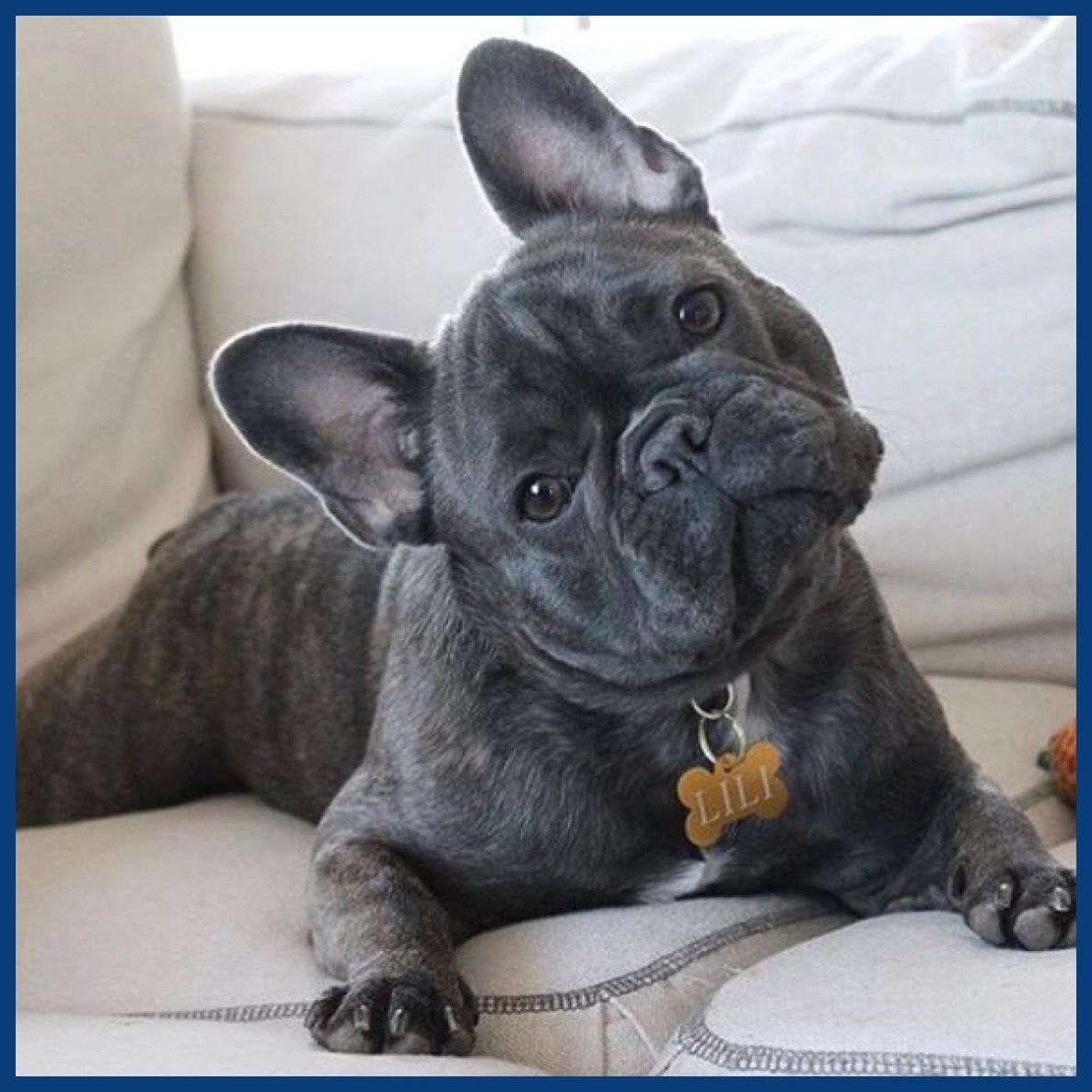French Bulldog Young Puppies Cute