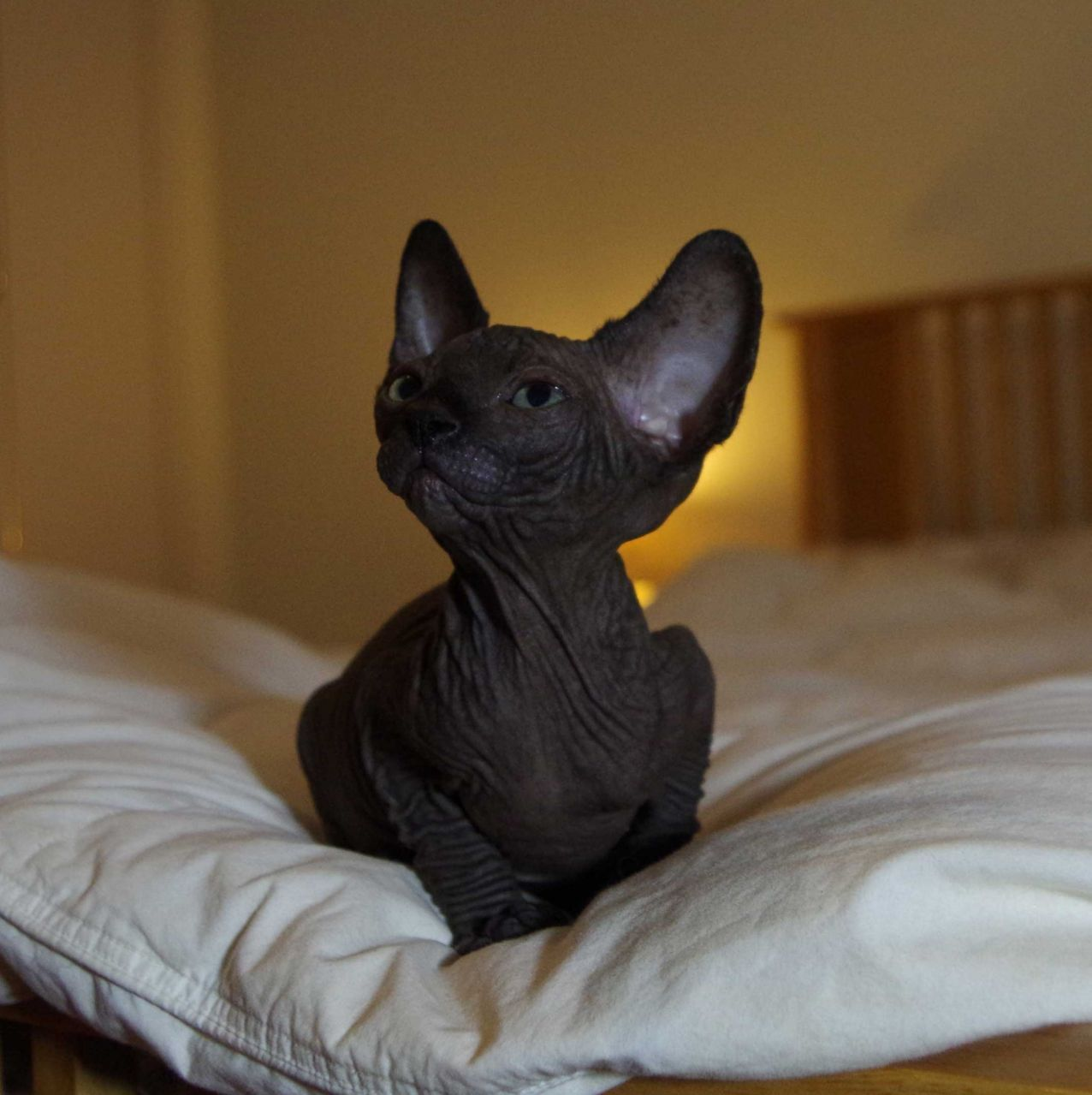 Сфинкс кошка фото черный