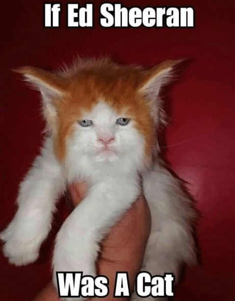 20 Ed Sheeran Memes With Cat | SayingImages.com