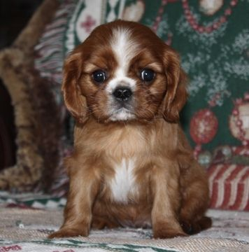 Cavalier King Charles Spaniel puppy for sale in HOUGHTON