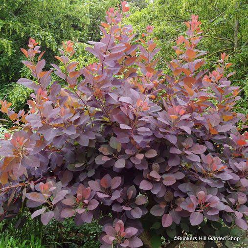 Purple Smoke Bush Cotinus Grace Shrub Warren Wood