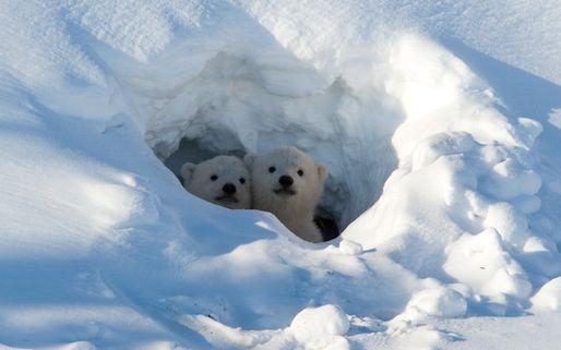 polar bear cubs in their snow den kimunkamuy pinterest