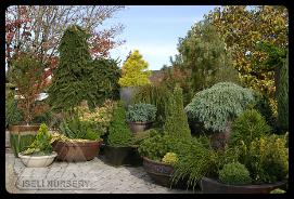 Homewood Nursery Miniature Plant Conifer Promo
