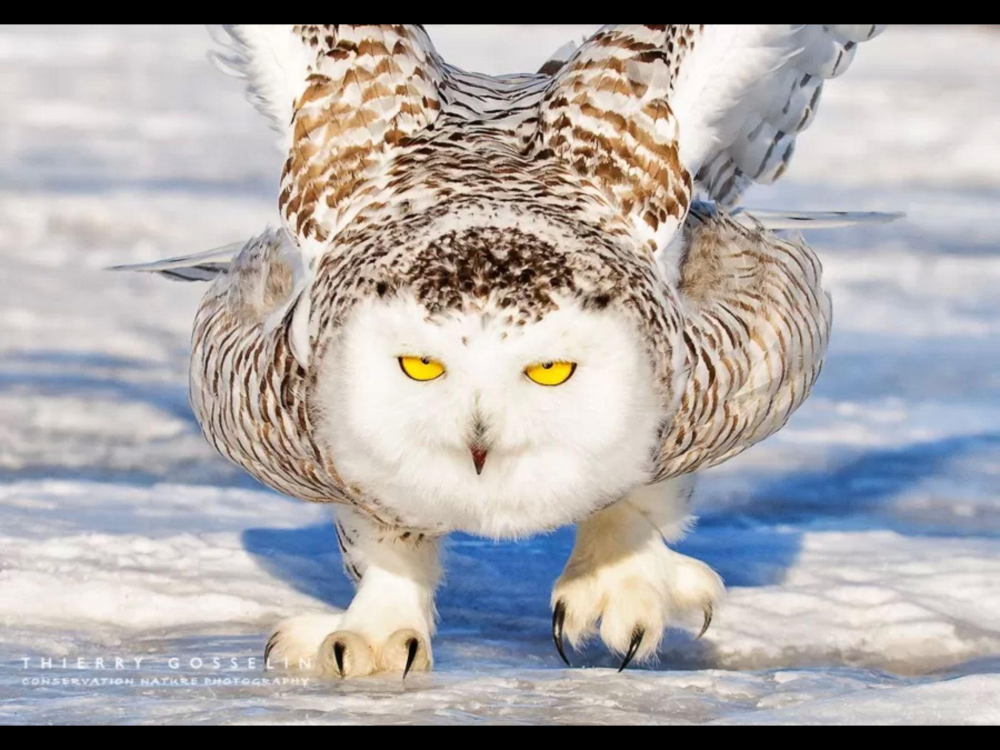 Ghost of the Arctic Snowy owl, Owl photos, Owl