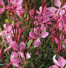 Image gaura ground cover