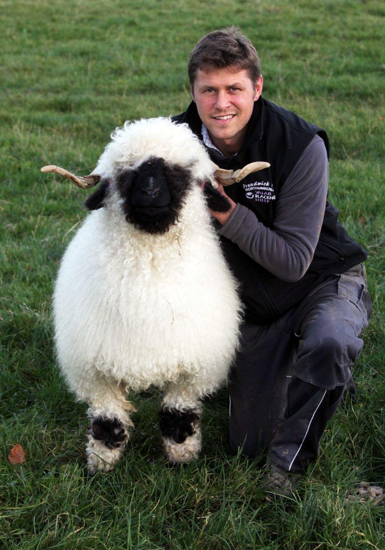 Valais Blacknose Sheep at Prendwick Farm which belong to