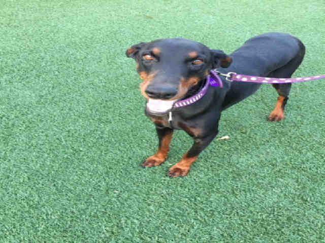 Doberman Pinscher Dog For Adoption In South Lake Tahoe Ca Adn