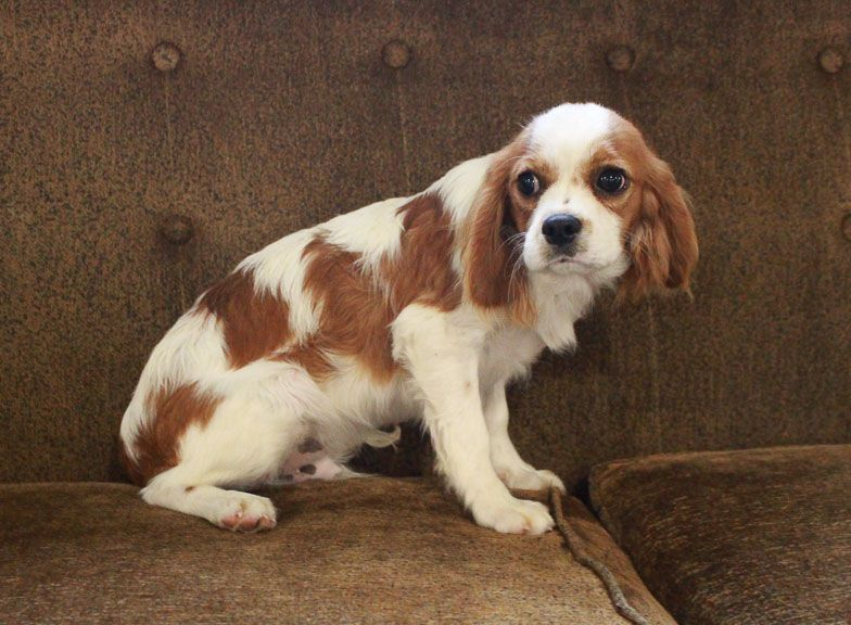 Breed Cavalier King Charles Spaniel Gender Male Registry Akc