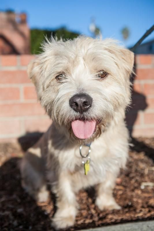 Dylan West Highland White Terrier Westie Mix & Cairn