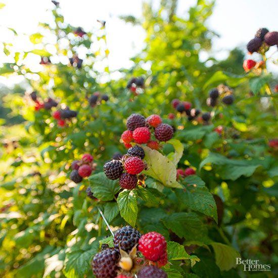 How Do I Trim My Thornless Blackberry Bushes Growing