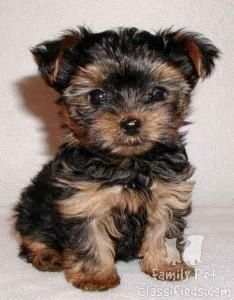 Tea Cup Yorkie Terrier Dog breeds that dont shed
