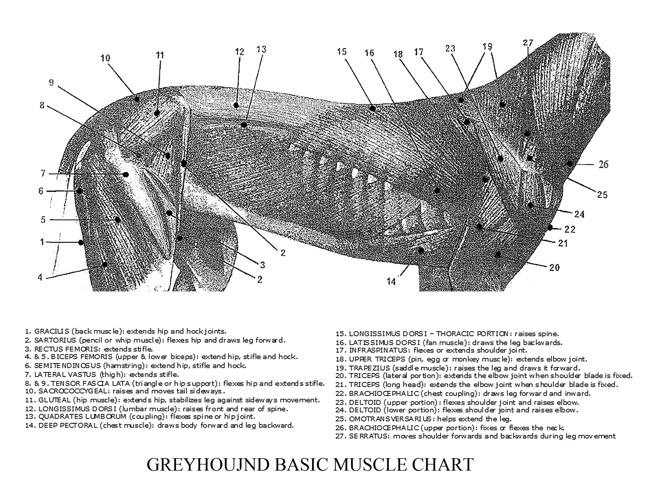 Greyhound Anatomy Diagram - Basic Muscles in Detail - click the link ...