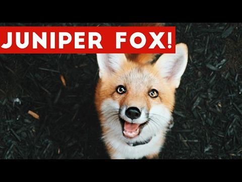 Meet Juniper, the Domesticated Fox That's so Adorable She'll Melt Your Heart - YouTube